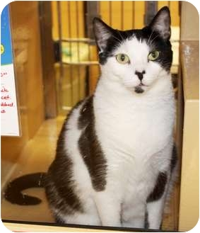Domestic Shorthair Cat for adoption in Nolensville, Tennessee - Abby