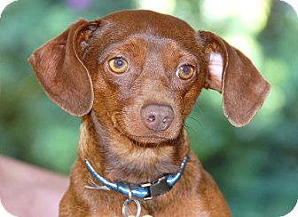 Dachshund/Miniature Pinscher Mix Dog for adoption in Bellflower, California - Kobe