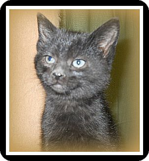 Domestic Shorthair Cat for adoption in Medford, Wisconsin - CLETUS