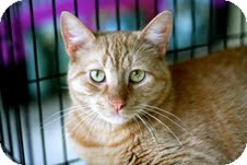 Domestic Shorthair Cat for adoption in East Brunswick, New Jersey - Charlie - ADOPTED