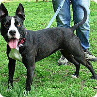 Boston Terrier/American Staffordshire Terrier Mix Dog for adoption in Middletown, New York - Sandy