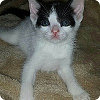 Adopt A Pet :: Spec - Chandler, AZ