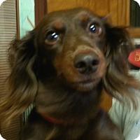 Adopt A Pet :: Cocoa Bear - Orlando, FL