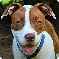 Adopt A Pet :: Hobo - Charlotte, NC