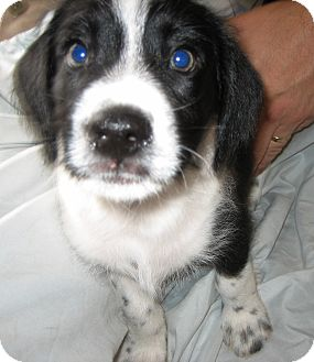 Beagle/Terrier (Unknown Type, Small) Mix Puppy for adoption in Hollywood, Florida - SNOOPY