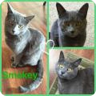 Russian Blue Cat for adoption in Shelbyville, Kentucky - Smokey