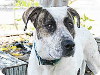 American Pit Bull Terrier Mix Dog for adoption in Agoura, California - Jessie