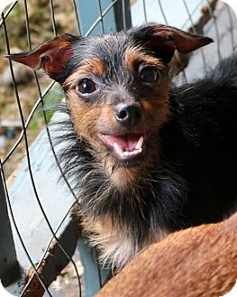 Yorkie, Yorkshire Terrier/Rat Terrier Mix Dog for adoption in Burbank, Ohio - Dax