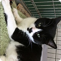 American Shorthair Cat for adoption in Rochester, New York - Saige