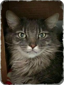 Polydactyl/Hemingway Cat for adoption in Pueblo West, Colorado - Allie