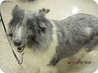 Sheltie, Shetland Sheepdog Dog for adoption in apache junction, Arizona - Alice