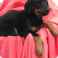 German Shepherd Dog Mix Puppy for adoption in Orland Park, Illinois - FUZZ