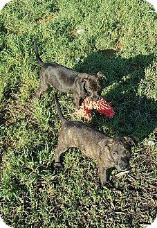Plott Hound/Boxer Mix Puppy for adoption in Greenville, North Carolina - Bindi