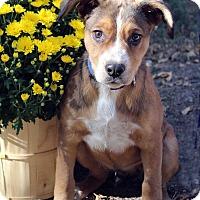 Adopt A Pet :: GIZMO - Westminster, CO