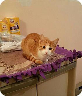 Domestic Shorthair Cat for adoption in Minneapolis, Minnesota - Bridgett