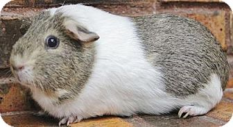 Guinea Pig for adoption in Benbrook, Texas - Florence