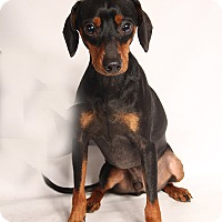Adopt A Pet :: Hudson Min Pin - St. Louis, MO