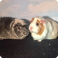 Adopt A Pet :: Porky and Hammie - Aurora, CO