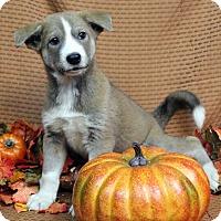 Adopt A Pet :: OTTO - Westminster, CO