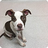 Pit Bull Terrier Mix Puppy for adoption in Durham, North Carolina - George