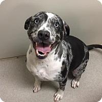 Adopt A Pet :: Sophia Vtg 5305 - Joplin, MO