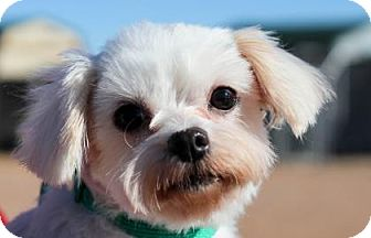 Maltese Dog for adoption in Colorado Springs, Colorado - Desiree