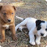Adopt A Pet :: Hollie - Royal Palm Beach, FL