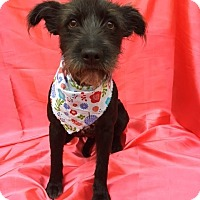 Adopt A Pet :: CHLOE - pasadena, CA