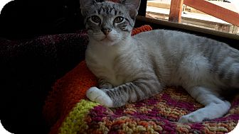 Siamese Cat for adoption in La Canada Flintridge, California - Pharoah