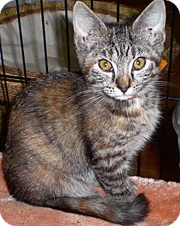 Domestic Shorthair Kitten for adoption in Fairborn, Ohio - Genevieve