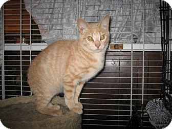 Domestic Shorthair Kitten for adoption in Portland, Maine - Goldie
