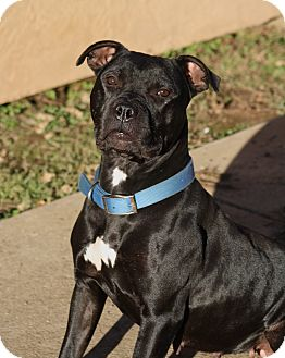 Staffordshire Bull Terrier/American Pit Bull Terrier Mix Dog for adoption in Sacramento, California - Tink