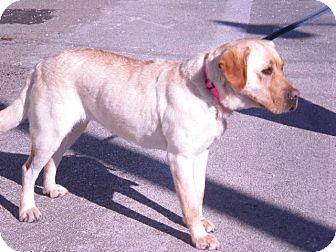 """Labrador Retriever Dog for adoption in New Castle, Pennsylvania - """" Bella """""""