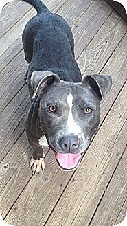 Pit Bull Terrier Mix Dog for adoption in Pittsburgh, Pennsylvania - MIDGET