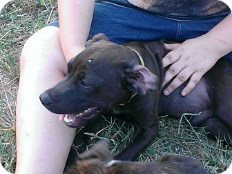 Boxer/English Setter Mix Puppy for adoption in Linton, Indiana - Greeny