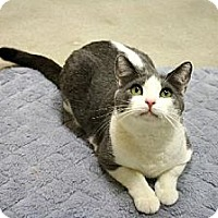 Domestic Shorthair Cat for adoption in Woodland Hills, California - Gracie