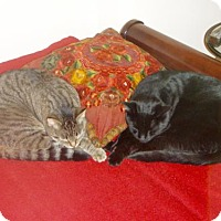 Adopt A Pet :: Bonded Buds Pinkus and Charlie - Brooklyn, NY