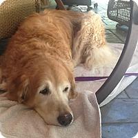Adopt A Pet :: Lady - Windam, NH