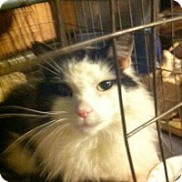 Domestic Longhair Cat for adoption in Queens, New York - Prince