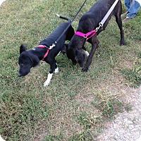 Adopt A Pet :: Felix - Baden, PA