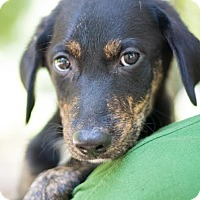 Adopt A Pet :: Dozer in CT - East Hartford, CT