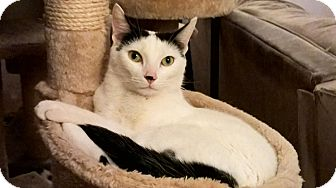 Domestic Shorthair Cat for adoption in Rancho Cucamonga, California - Fedorov
