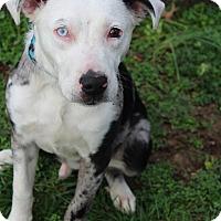 Adopt A Pet :: Rambo - Waldorf, MD