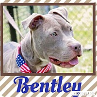 Adopt A Pet :: Bentley - Columbia, MD