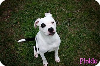 Pit Bull Terrier Puppy for adoption in Livingston, Louisiana - Pinkie