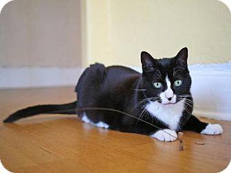 Domestic Shorthair Cat for adoption in Oakland, California - Talulah