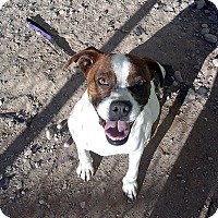 Boxer Mix Dog for adoption in Longmont, Colorado - Vincent