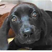 Adopt A Pet :: Mocha - Springdale, AR
