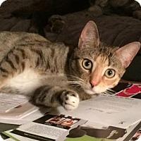 Adopt A Pet :: Princess Peach - New York, NY