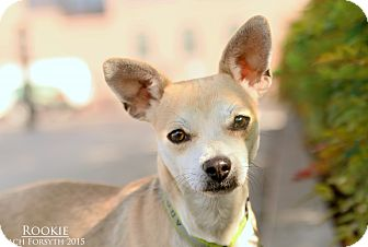 Chihuahua Mix Dog for adoption in Portland, Oregon - Rookie